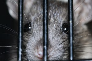Co zrobić, kiedy w domu pojawi się szczur?